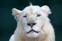 一头幼小白色狮子的画象 免版税库存图片