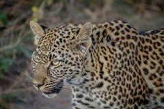 一头幼小豹子的旁边外形 免版税图库摄影