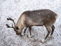 一头幼小驯鹿寻找食物 没有草和雪的空的狂放的地球 库存照片