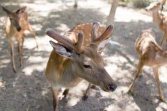 一头幼小鹿的画象在动物园里 库存照片