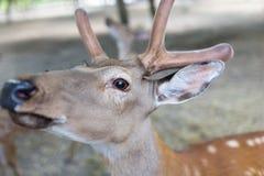 一头幼小鹿的画象在动物园里 免版税库存照片