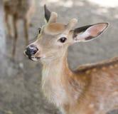 一头幼小鹿的画象在动物园里 免版税图库摄影