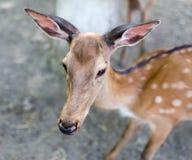 一头幼小鹿的画象在动物园里 图库摄影