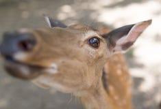 一头幼小鹿的画象在动物园里 库存图片