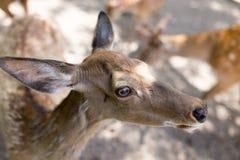 一头幼小鹿的画象在动物园里 免版税库存图片