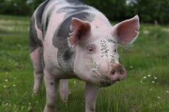 一头幼小pietrain猪的顶头射击特写镜头在草甸的 库存照片
