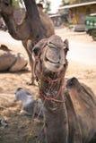 一头微笑的骆驼的画象 免版税库存照片