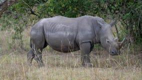 一头成人白色犀牛的接近的侧视图在非洲自然保留的 影视素材