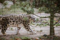 一头成人雪豹步行通过它的疆土关闭,看法通过在巴塞尔动物园的笼子在瑞士 多云天气 库存图片
