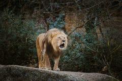 一头成年男性狮子用瑞士表达侵略,显示在石头的咆哮声牙在巴塞尔动物园在冬天在多云w 免版税库存照片