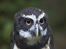 一头戴了眼镜猫头鹰的图象 免版税库存图片