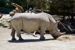 一头有角的犀牛在奥克兰动物园里 库存照片