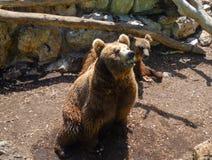 一头棕熊在法萨诺普利亚徒步旅行队动物园意大利里 免版税库存图片