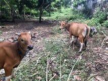 一头棕色母牛哺乳它的孩子 这是其中一个qurban Eid的AlAdha的动物 免版税库存照片