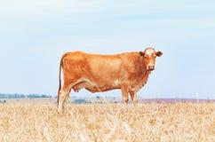 一头棕色母牛的侧视图在农场的牧场地的 免版税库存照片