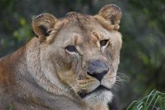 一头母大狮子的美丽的画象在南非 免版税库存图片
