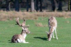 一头母小鹿在一只坐的雄鹿旁边吃草 库存图片