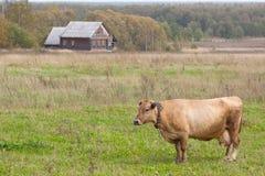 一头母牛在房子前面的一个草甸 图库摄影