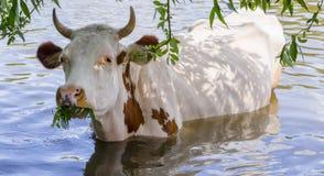 一头母牛在水中,毁坏树关闭的年轻分支 库存照片