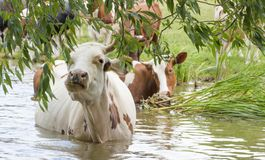 一头母牛在水中,毁坏树关闭的年轻分支 免版税库存照片