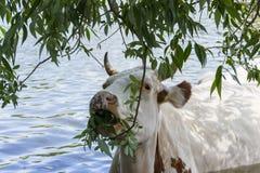一头母牛在水中,毁坏树关闭的年轻分支 库存图片