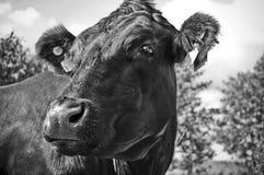 一头母牛在看在一可爱的summer's天的小牧场 母牛、颜色和照明设备的了不起的细节 免版税库存图片