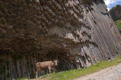 一头母牛在Garni峡谷,亚美尼亚 库存图片