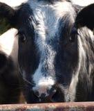 一头母牛的头在草甸 库存照片
