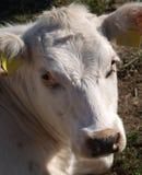 一头母牛的头在草甸 免版税图库摄影