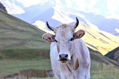 一头母牛的画象在一个山区 库存图片