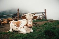 一头母牛的画象在喀尔巴阡山脉的村庄在夏天 图库摄影