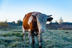 一头母牛的画象在村庄 图库摄影