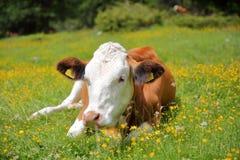 一头母牛的画象在沿Vallunga谷的一个草甸在丛林地带上 免版税库存图片