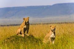 一头母狮子的图象在自然背景的 免版税库存照片