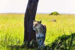 一头母狮子的图象在自然背景的 图库摄影