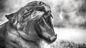 一头母非洲狮子的特写镜头画象 免版税库存照片