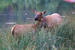 一头母麋和小牛在臭虫围拢的草 免版税库存照片