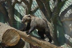 一头滑稽的熊在动物园` s城堡的一个木酒吧扰乱 免版税库存照片