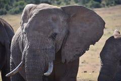 一头灰色大大象的一张美丽的画象在Addo大象公园在科尔切斯特,南非 免版税库存图片