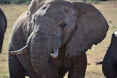 一头灰色大大象的一张美丽的画象在Addo大象公园在科尔切斯特,南非 库存图片