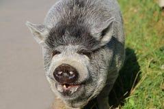 一头灰色猪的画象 免版税库存图片