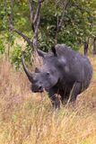 一头犀牛的画象在充分的成长的 Meru,肯尼亚 库存照片
