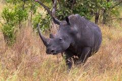 一头犀牛的画象在Meru丛林的  肯尼亚,非洲 免版税库存图片