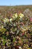 一头状的lousewort Pedicularis capitata的特写镜头在加拿大北极寒带草原的 免版税图库摄影