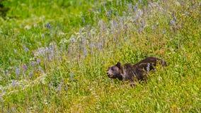 一头狂放的大北美灰熊的射击的关闭在开花的草的在运动 免版税库存图片