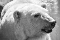 一头狂放的白色北极熊的特写镜头画象 库存图片
