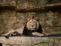 一头狮子在动物园封入物 免版税库存照片