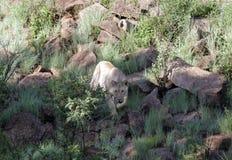 一头狮子在南非 库存图片