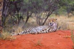 一头猎豹在Kgalagadi境外公园 免版税库存照片