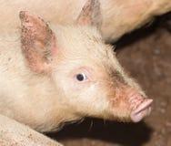 一头猪的画象在农场的 库存图片